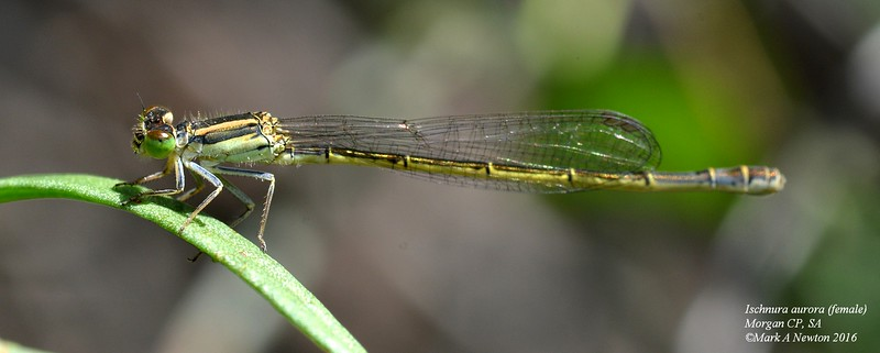 Ischnura aurora  (Golden dartlet)   female