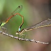 Ischnura aurora  (Golden dartlet) pair