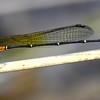 Nososticta solida  (Orange threadtail)  male