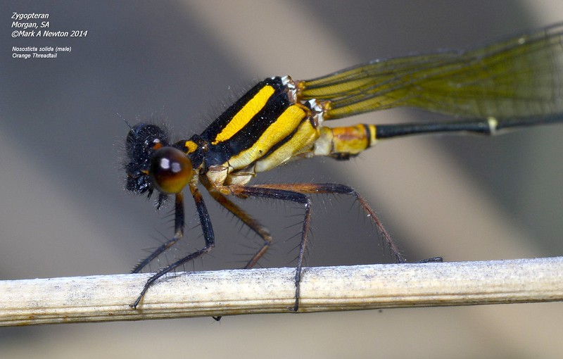 Nososticta solida  (Orange threadtail) male