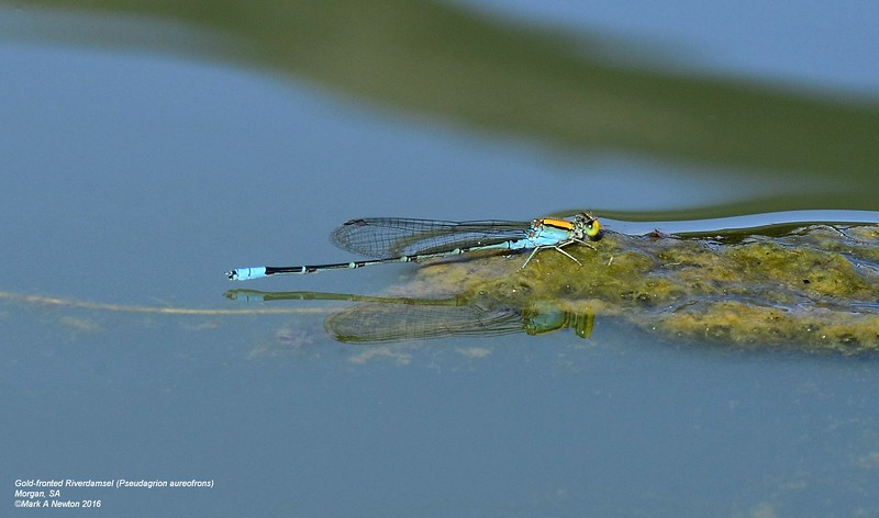 Pseudagrion aureofrons (Gold-fronted riverdamsel) male