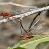 Xanthagrion erythroneurum  (pair)  Red and blue damsel