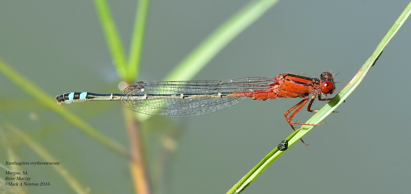 Xanthagrion erythroneurum  (male)