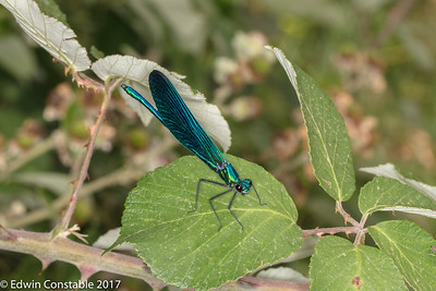 Calopteryx virgo, Beautiful demoiselle