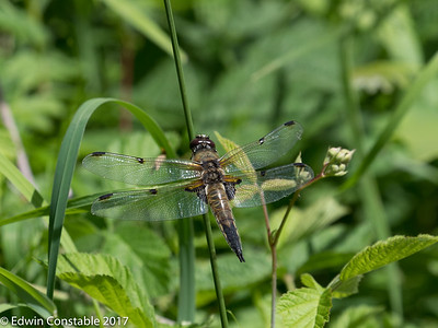 Libellula quadrimaculata, Four-spotted chaser