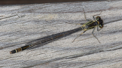 Ischnura elegans, Common bluetail