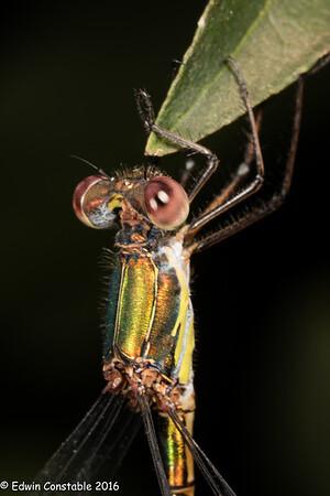 Lestes viridis