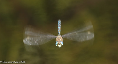 Aeshna mixta, Migrant Hawker
