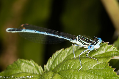 Platycnemis pennipes, Blue featherleg