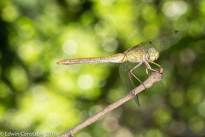 Southern Darter, Sympetrum meridionale