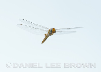 Spot-winged Glider? Yolo Bypass Wildlife Area, 7-20-14. Cropped image.