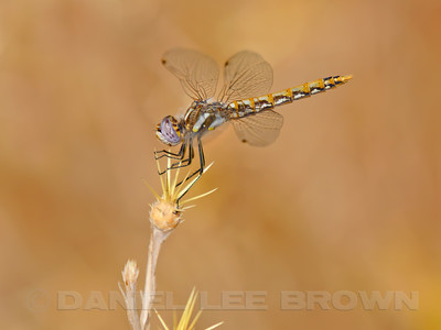 VARIEGATED_MEADOWHAWK_ARP_SAC_CO_CA_2016-09-11_D02_2500_7989