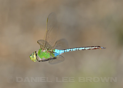 Common Green Darner, Sacramento County, CA, 9-3-13. Cropped image.