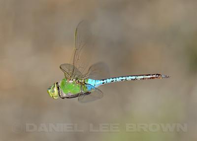 Common Green Darner, Sacramento County, CA, 9-3-13. Cropped image.