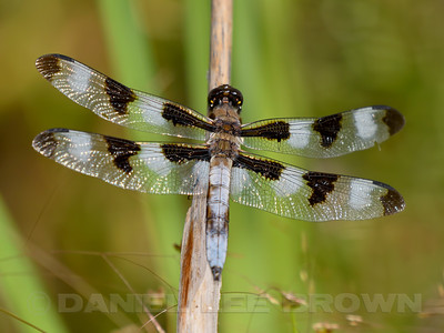 TWELVE-SPOTTED_SKIMMER_NEV_CO_CA_2016-08-06_D02_2500_6928