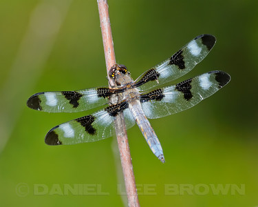Twelve-spotted Skimmer, Nevada County, CA, 8-5-12. Slightly cropped image.