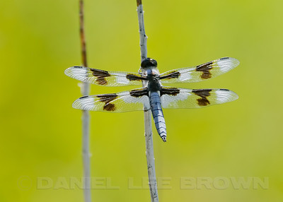 Eight-spotted Skimmer, Mono County, CA, 7-26-12. Cropped image.