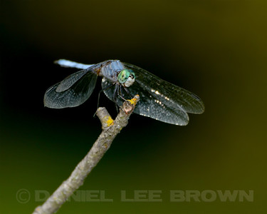 Male Blue Dasher, American River Parkway, 8-15-13. Cropped image.