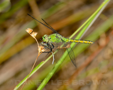 Female Western Pondhawk with prey, American River Parkway, 8-15-13. Cropped image.
