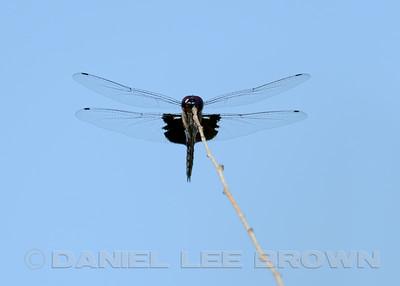 Black Saddlebags, Mather Regional Park, Sacramento, CA, 8-14-14. Cropped image.