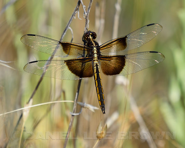 WIDOW_SKIMMER_ARP_SAC_CO_CA_2016-06-16_D02_2500_4762
