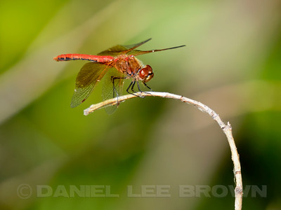 WESTERN_MEADOWHAWK_NEV_CO_CA_2016-08-06_D02_2500_6935