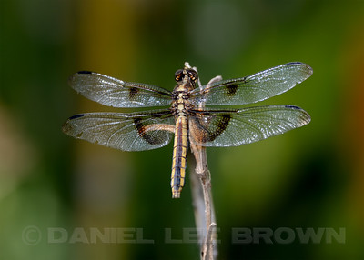 Female Widow Skimmer, American River Parkway, 8-15-13. Cropped image.