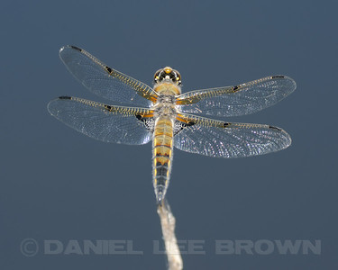 Four-spotted Skimmer, Nevada Co. CA, 8-13-11.