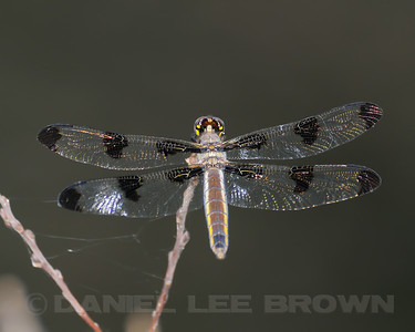 Twelve-spotted Skimmer, Nevada Co. CA, 8-13-11.