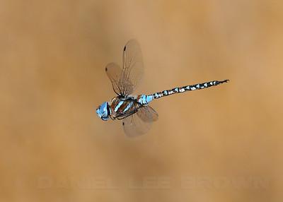 Blue-eyed Darner, Shollenberger Park, Sonoma co, CA, 9-6-10. Cropped image.
