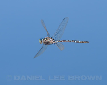 Blue Darner, Nevada Co, CA. Cropped image.