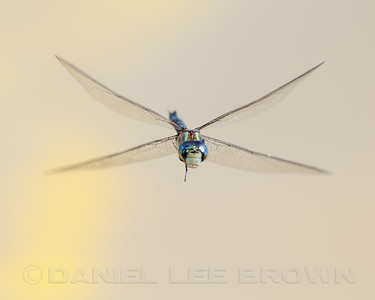 Blue Darner, Nevada Co, CA. Cropped image.