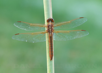 Female Flame Skimmer, Sacramento co, CA, 9-7-10.