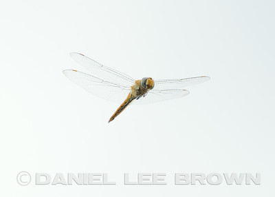 DRAGONFLY_YBWA_SAC_CO_CA_2014-07-20_DAN_2500_7475