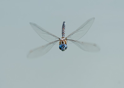 BLUE_EYED_DARNER_YBWA_YOL_CO_CA_2018-09-12_D02_25_9499