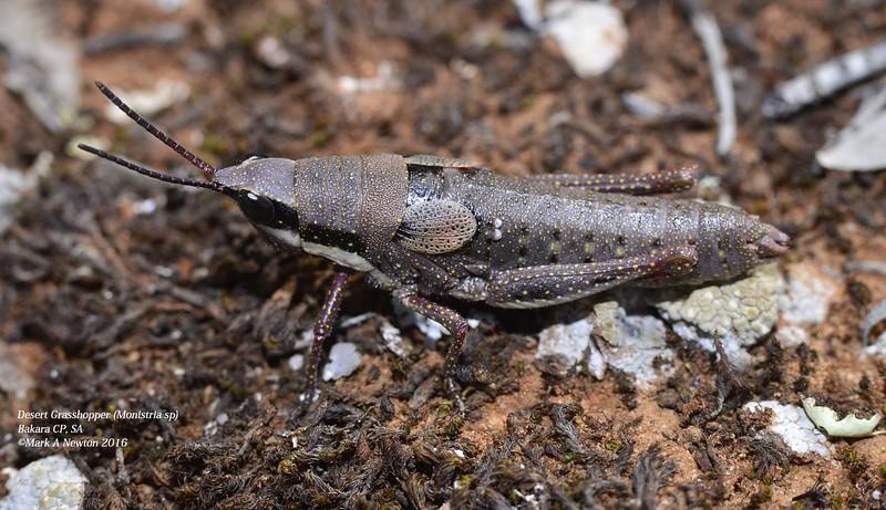 Monistria sp (flightless desert grasshopper)