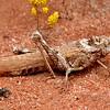 Macrolopholia sp  (possibly)