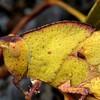 Goniaea australasiae (yellow colour form)
