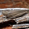 Goniaea sp. cf. australasiae