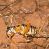 Pareremus sp cf tigrinus   (female)