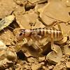 Pareremus sp cf tigrinus   (nymph)
