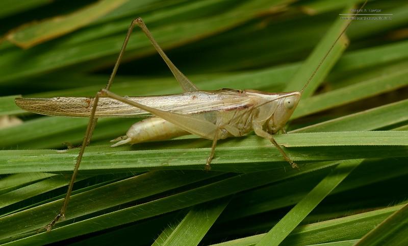 Conocephalus (Chloroxiphidion) albescens   or similar species