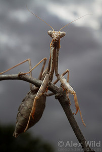 Stagmomantis carolina, the carolina mantis.  Urbana, Illinois, USA