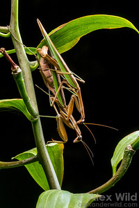 Tenodera sinensis