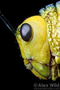 Tropidacris