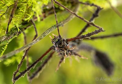 Parobrimus