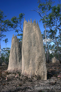 Amitermes laurensis, magnetic termite mound. The north-south orientation of these blade-like structures is thought to help the termites regulate the temperature of their nest.  Cape York Peninsula, Queensland, Australia