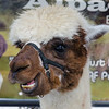 Alpaca at farmers market