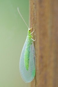 Lacewing - Green - Dunning Lake - Itasca County, MN