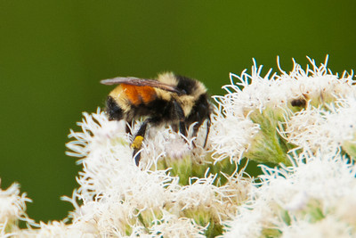 Bumblebee - Tri-colored - Dunning Lake - Itasca County, MN